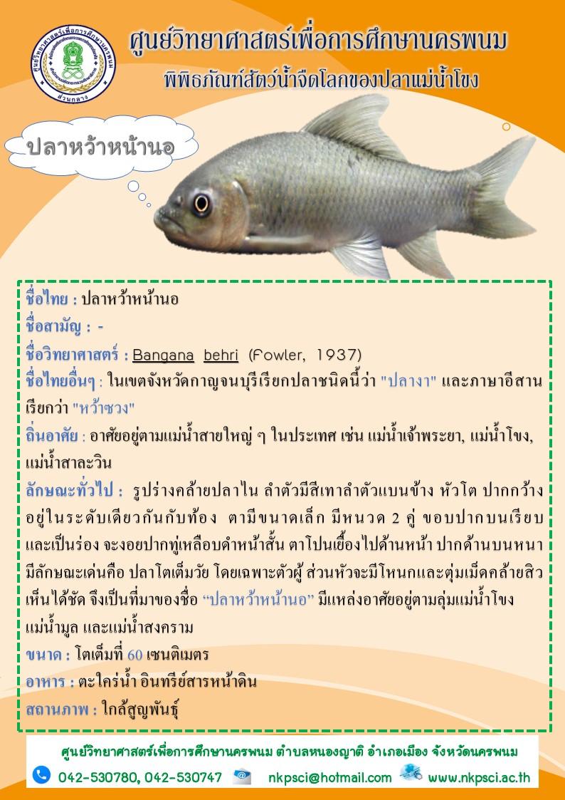 ปลาหว้าหน้านอ ปลาหายากใกล้สูญพันธุ์ในลุ่มแม่น้ำโขง
